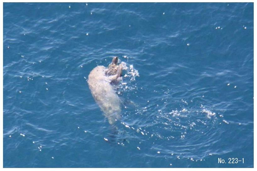 写真・図版 : ウミガメと戯れるジュゴンの個体A=2013年5月27日、嘉陽沖、沖縄防衛局シュワブ水域生物等調査報告書より