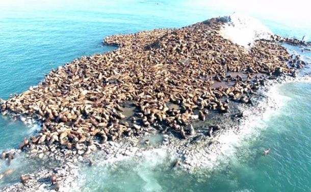 写真・図版 : 図1:弁天島に上陸するトドの大群=2018年2月27日、稚内水産試験場撮影