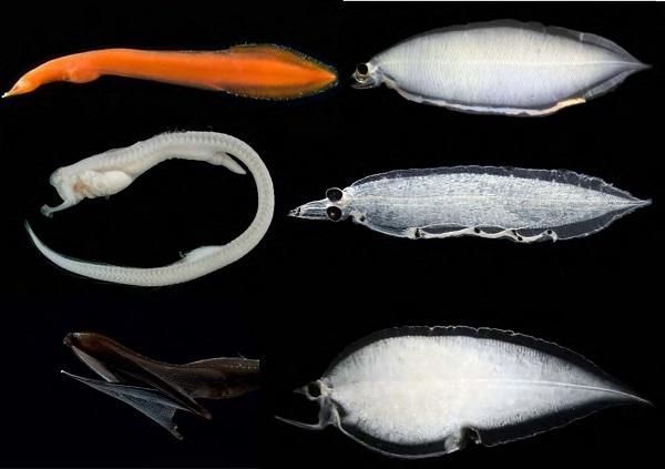 写真・図版 : 成魚(左)とレプトセファルス幼生の組み合わせ(縮尺は同じではない)。上段がネオサイエマ属、中段がタンガクウナギ属で、これらは今回の研究でわかった。下段はフクロウナギ属=Jan Y. Poulsenさん提供