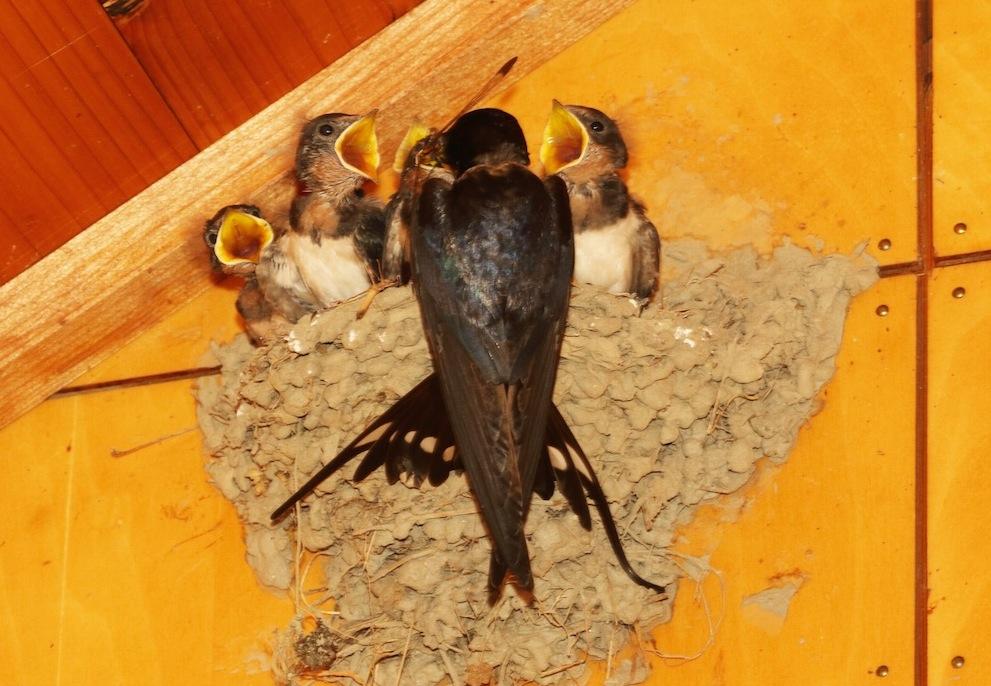 写真・図版 : トンボを餌に子育てをする渡り鳥のツバメ(筆者撮影)