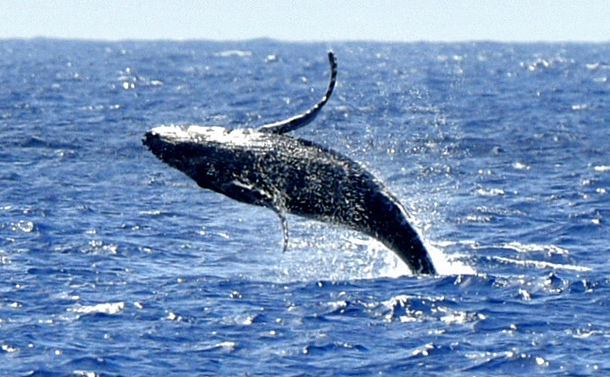 海面から飛び上がるザトウクジラ=2018年4月、父島沖
