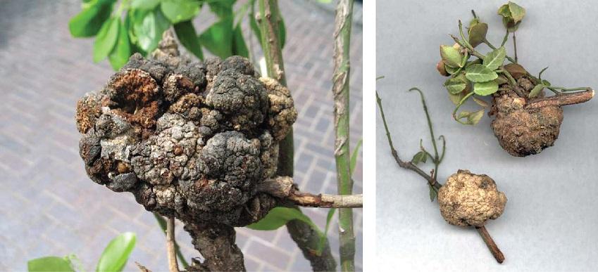 写真・図版 : ニシキギの若木の幹にできたクラウンゴール。アグロバクテリア感染による遺伝子組み換えの結果、こうした腫瘍化が起こる=米国ミズーリ植物園のウェブサイトから