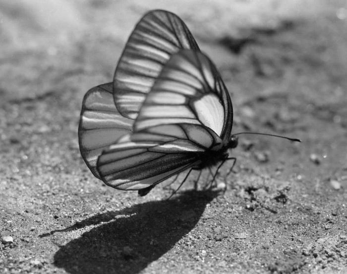 写真・図版 : 田淵さんが撮影した初夏の上高地のミヤマシロチョウ=1954年6月(田淵行男記念館蔵)
