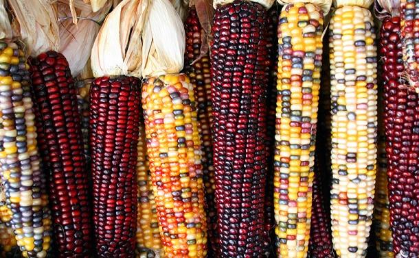 トウモロコシから見えて来た「栽培化症候群」