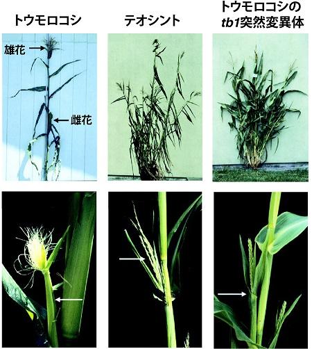写真・図版 : 上は植物体の立ち姿。トウモロコシは、1本だけの茎の頂端に雄花が、基部に(トウモロコシの実になる)雌花ができる。テオシントとトウモロコシ突然変異体では、たくさんの枝が出来る。下の写真は雌花のクローズアップ。トウモロコシの雌花はほかの二つと似ても似つかない=下記の論文から