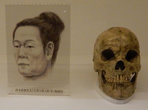 写真・図版 : 渡来系弥生人と考えられてきた土井ヶ浜遺跡人骨と顔の想像図=国立科学博物館の企画展「砂丘に眠る弥生人」の展示