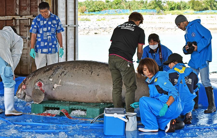 写真・図版 : 3月18日にはジュゴン1体の死骸が見つかった=沖縄県今帰仁村、伊東聖撮影