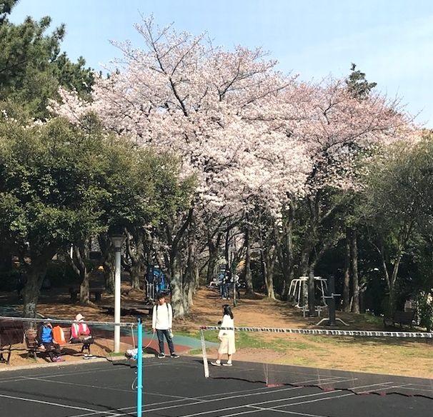 写真・図版 : 済州島の公園でも満開の桜の下で散歩の人たちが戯れていた