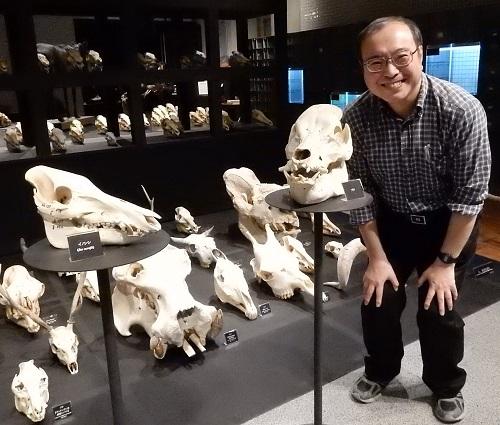 写真・図版 : イノシシ(左)とブタの頭骨と並ぶ遠藤秀紀教授=東大総合研究博物館