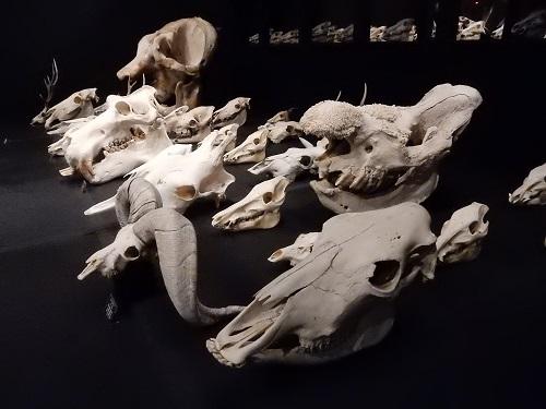 写真・図版 : ゾウやカバ、サイ、キリンなどの頭骨は、家畜化に至らなかった野生動物の存在を示している=東大総合研究博物館