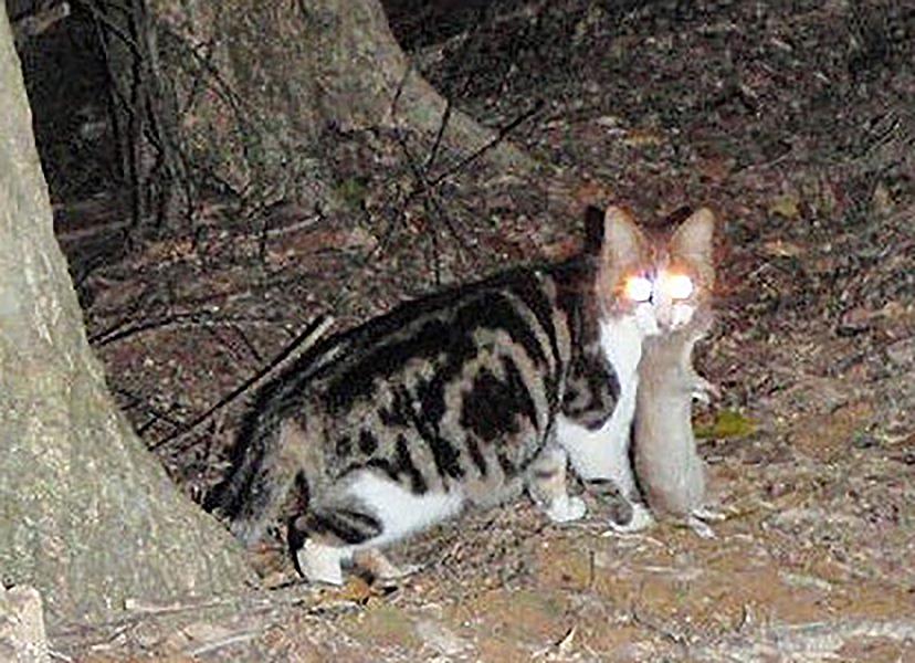 写真・図版 : 国の天然記念物ケナガネズミをくわえる奄美大島の猫=2012年3月、環境省奄美自然保護官事務所提供