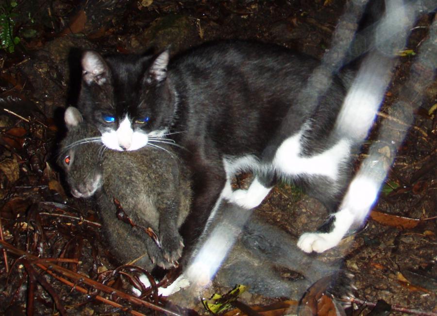 写真・図版 : アマミノクロウサギをくわえるノネコ=2008年6月、奄美大島、環境省奄美野生生物保護センター提供