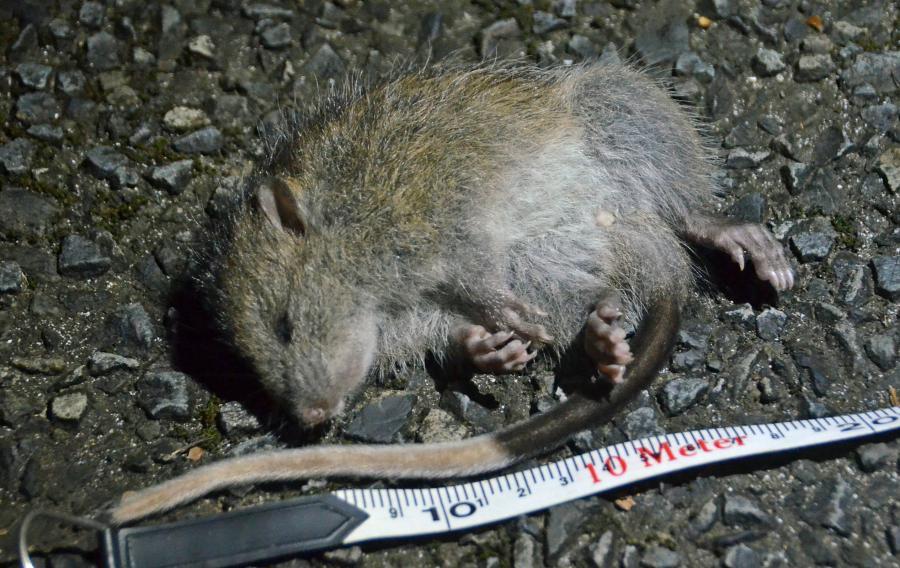 写真・図版 : ノネコに襲われて死んだとみられるケナガネズミの幼獣=2016年1月9日、奄美市住用町、外尾誠撮影