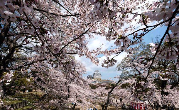 桜の季節に安部公房を