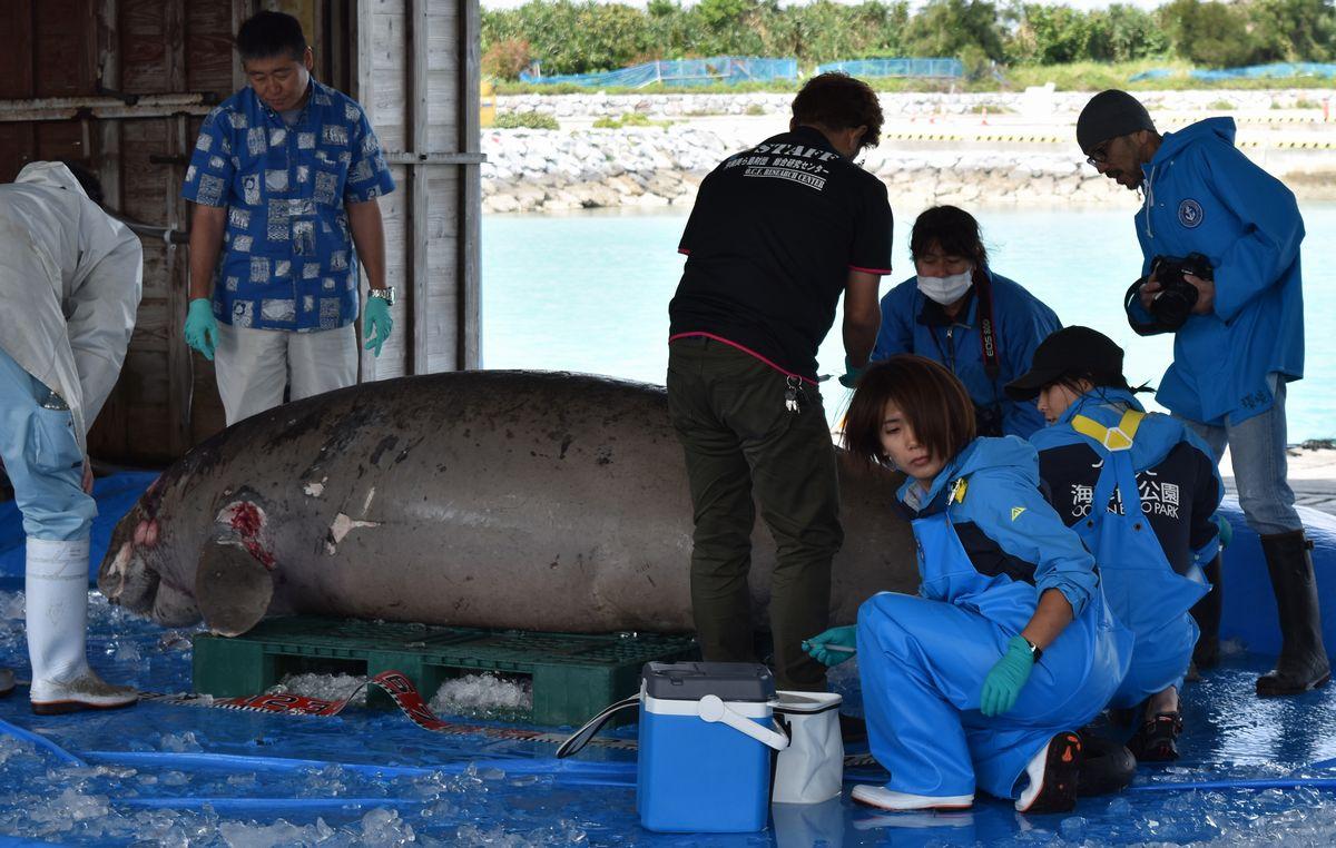 写真・図版 : 死んで引き揚げられたジュゴン=2019年3月19日、沖縄県今帰仁村の運天漁港