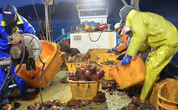写真・図版 : 4年かけて育てたホヤを引き揚げる漁師=2019年4月12日、宮城県石巻市の鮫浦湾、岡本進撮影