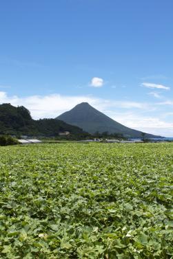 写真・図版 : 開聞岳を望むサツマイモ畑=写真協力:鹿児島県南薩地域振興局