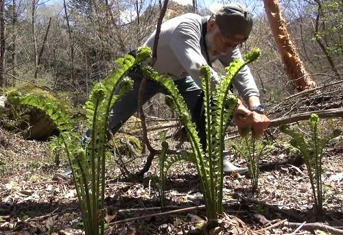 写真・図版 : 山菜取り。コゴミ(クサソテツの新芽)は春を告げる味覚だ=甲府市、河合博司撮影