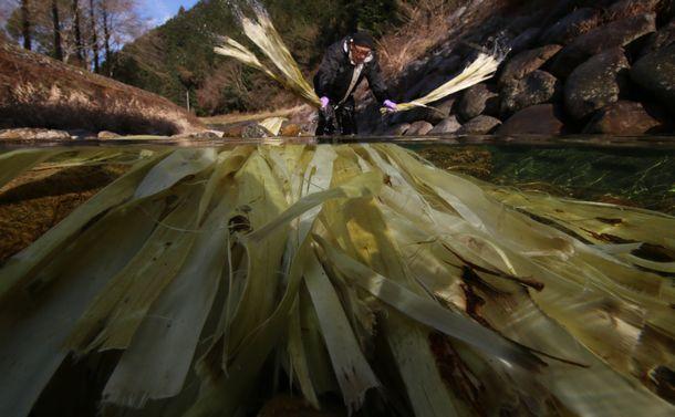 写真・図版 : 川にさらされるコウゾ。和紙の原料として使われる=兵庫県多可町、小林裕幸撮影