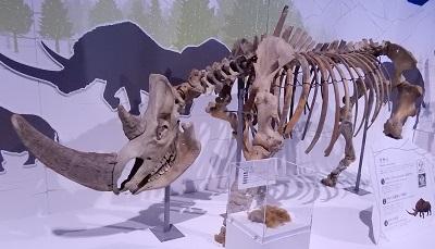 写真・図版 : ケサイの骨格標本