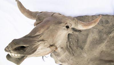 写真・図版 : ユカギルバイソンの冷凍標本=「マンモス展」PR事務局提供