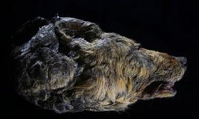写真・図版 : オオカミの頭部=NAO Foundation提供