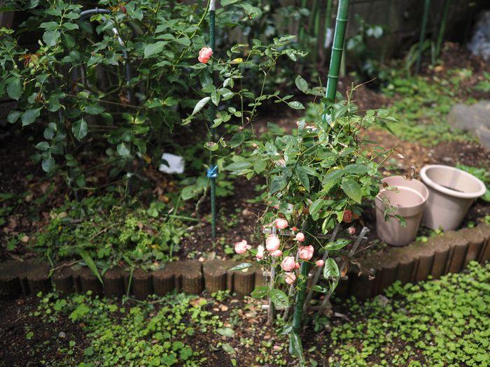 写真・図版 : 薔薇の見ごろは過ぎたものの、庭にはまだ、小さな花たちが残っていた