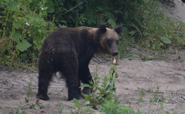 写真・図版 : 畑に現れたヒグマ。作物のビートをくわえている=2017年7月、北海道森町、黒澤篤さん撮影