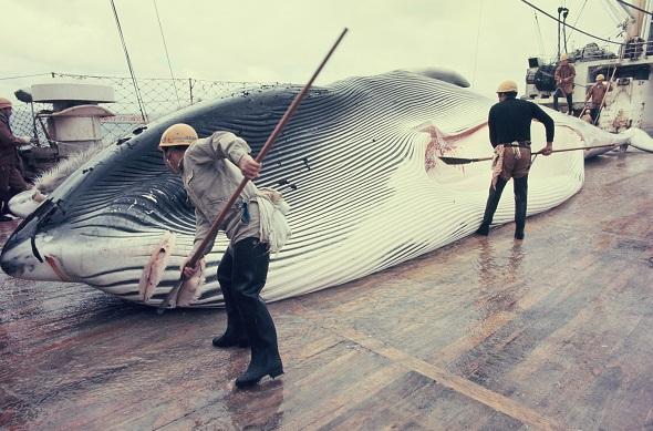 写真・図版 : 南氷洋で商業捕鯨の母船上で解体されるナガスクジラ=1973年2月9日 、金井三喜雄撮影