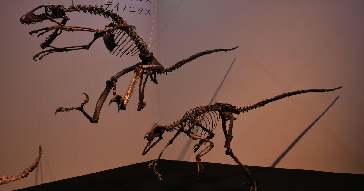 写真・図版 : 躍動的な姿につくられたデイノニクスの復元骨格標本=国立科学博物館「恐竜博2019」