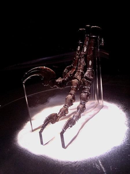写真・図版 : デイノニクスの左足の化石(ホロタイプ標本)。大きなかぎ爪が名前の由来になった=国立科学博物館「恐竜博2019」