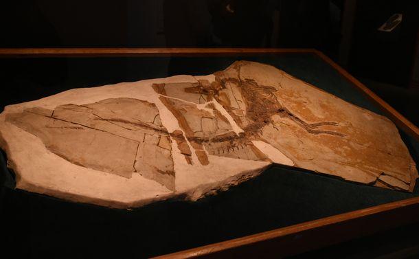 写真・図版 : シノサウロプテリクスの化石=国立科学博物館「恐竜博2019」