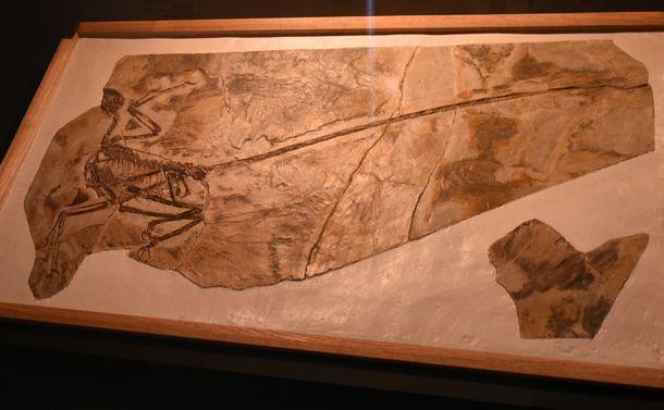 写真・図版 : ミクロラプトルの化石=国立科学博物館「恐竜博2019」
