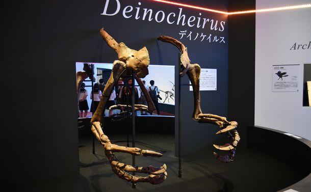 写真・図版 : 1965年に見つかったデイノケイルスの腕(複製)。長さが2.4mもあり、学名の由来となった=国立科学博物館、筆者撮影