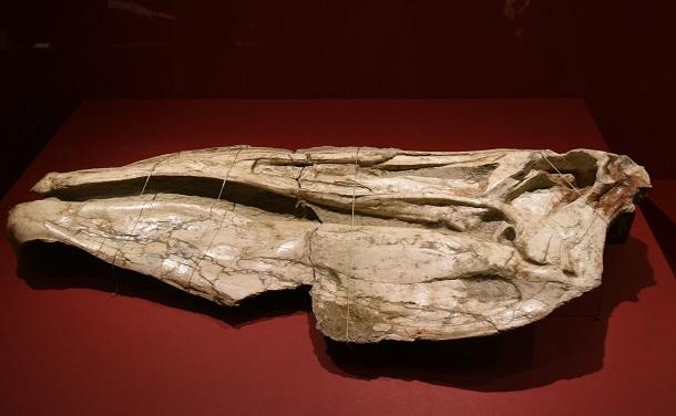 写真・図版 : デイノケイルスの頭骨=国立科学博物館、筆者撮影