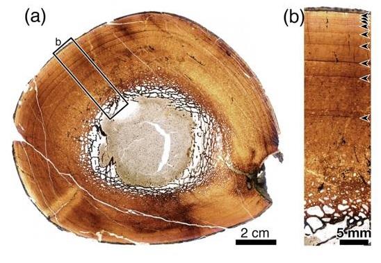 写真・図版 : カムイサウルスの脛骨の断面(a)。(b)は(a)の四角部の拡大。9本の成長停止線が見える=北海道大提供
