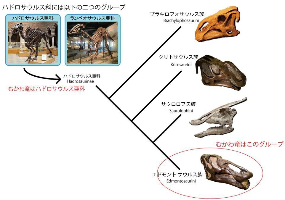 写真・図版 : ハドロサウルス科は2亜科に分かれ、カムイサウルスはハドロサウルス亜科のエドモントサウルス族に含まれる