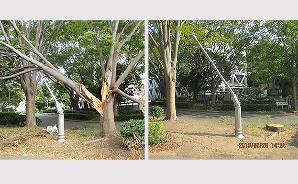 写真・図版 : 千葉大における倒木被害。右は倒木伐採後。