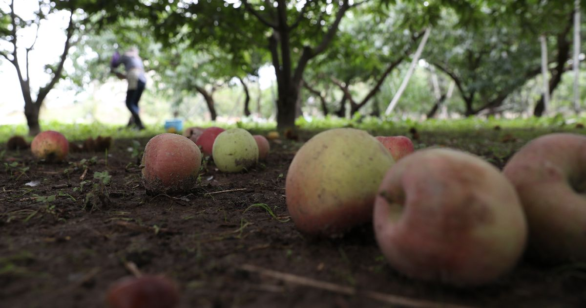 写真・図版 : 台風19号の大雨による千曲川の決壊で長野市特産のリンゴも打撃を受けた。=2019年10月21日、長野市小布施町