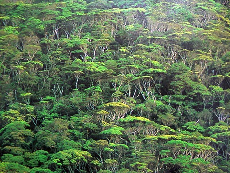 写真・図版 : イタジイが茂るやんばるの森
