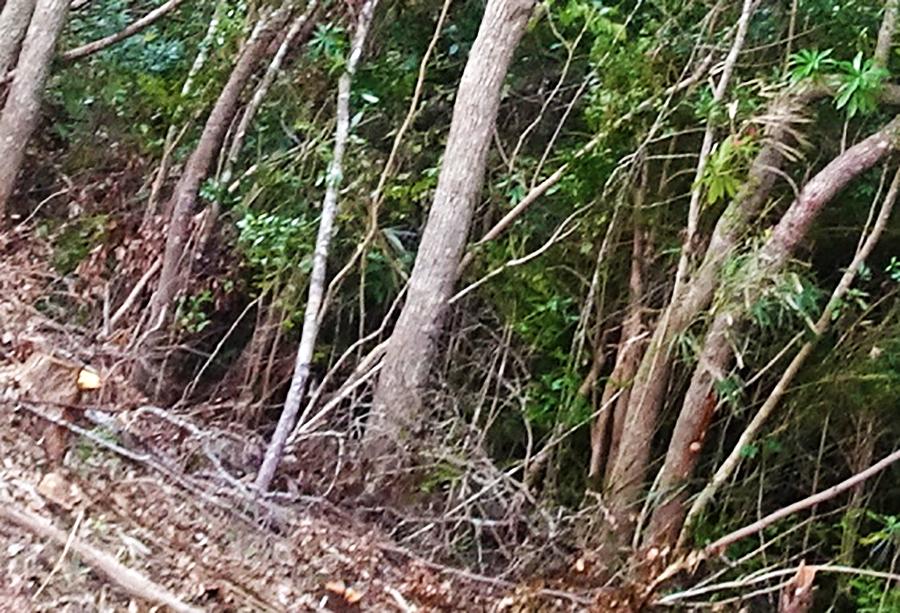 写真・図版 : 国頭村宜名真の皆伐現場の沢沿いのイタジイ。谷筋側に傾いている