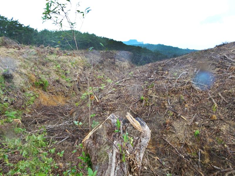 写真・図版 : 国頭村辺戸の皆伐現場 手前はイタジイの切り株