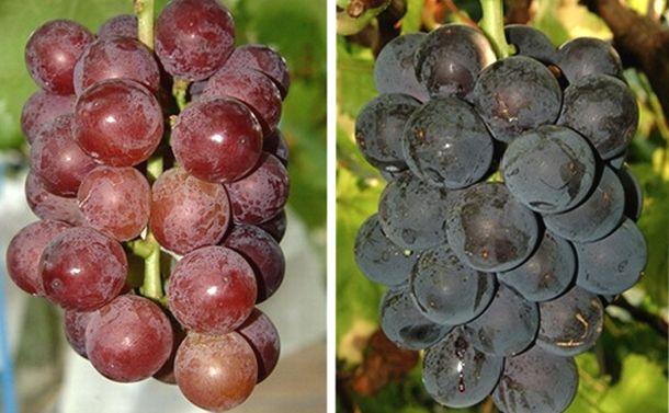 葡萄や林檎は気温上昇に耐えられるか