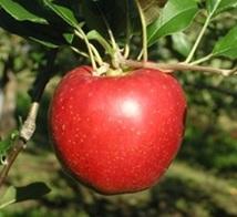 写真・図版 : 高温下でも濃赤色に色づく新品種「錦秋」=農研機構HPより