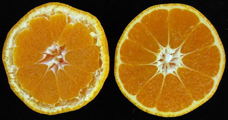 写真・図版 : 左が浮皮状態、右が正常なミカン=農研機構HPより