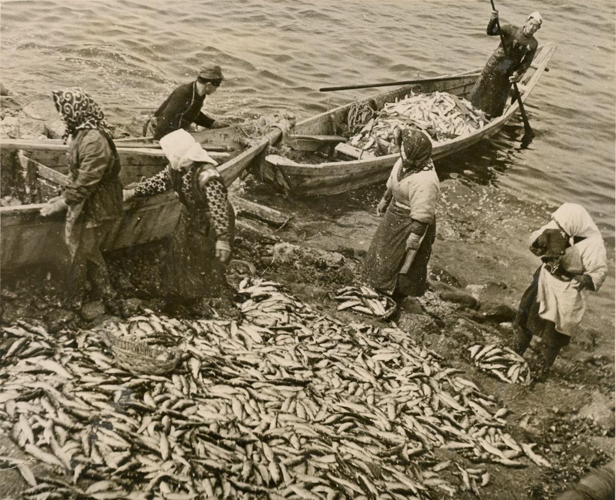 写真・図版 : 1946年撮影のニシン漁。この頃、北海道のニシン漁獲高は30万トンほどだったが、1990年代以降は毎年2000~3000トン程度で推移している。