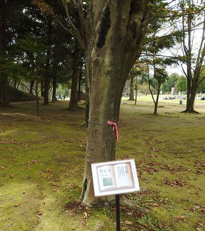 写真・図版 : ブナの木は童話「虔十公園林」などの作品に登場する
