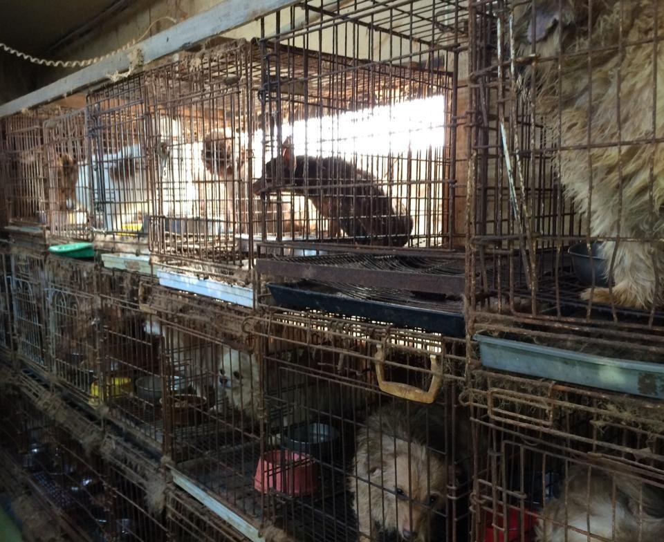 写真・図版 : 栃木県内の「犬猫引き取り屋」で飼育されていた犬たち=動物愛護団体提供