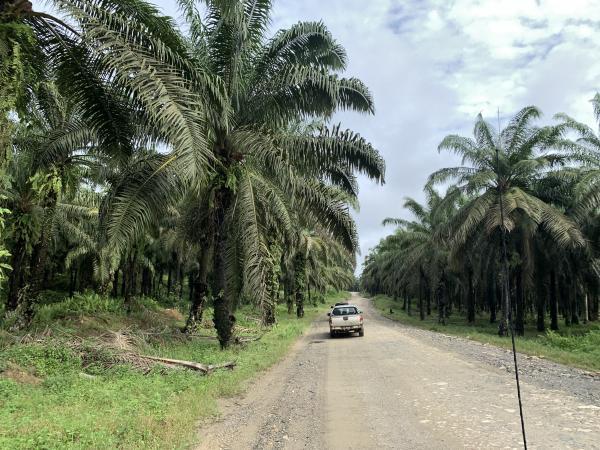 写真・図版 : 広大な土地にアブラヤシが植林されているムランキン・オイルパーム・プランテーション( 関根健次撮影)