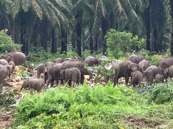 写真・図版 : アブラヤシ農園内の野生象の群れ